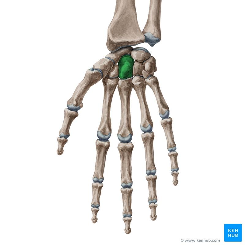 Lernkartei Anatomie: Hand und Handgelenk (Latein)