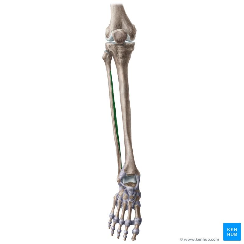 Gemütlich Oberflächenanatomie Knie Fotos - Menschliche Anatomie ...