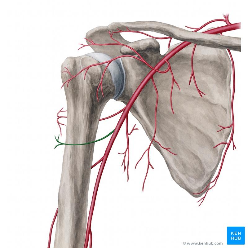 Lernkartei Anatomie: Nerven und Blutgefäße der oberen Extremität ...