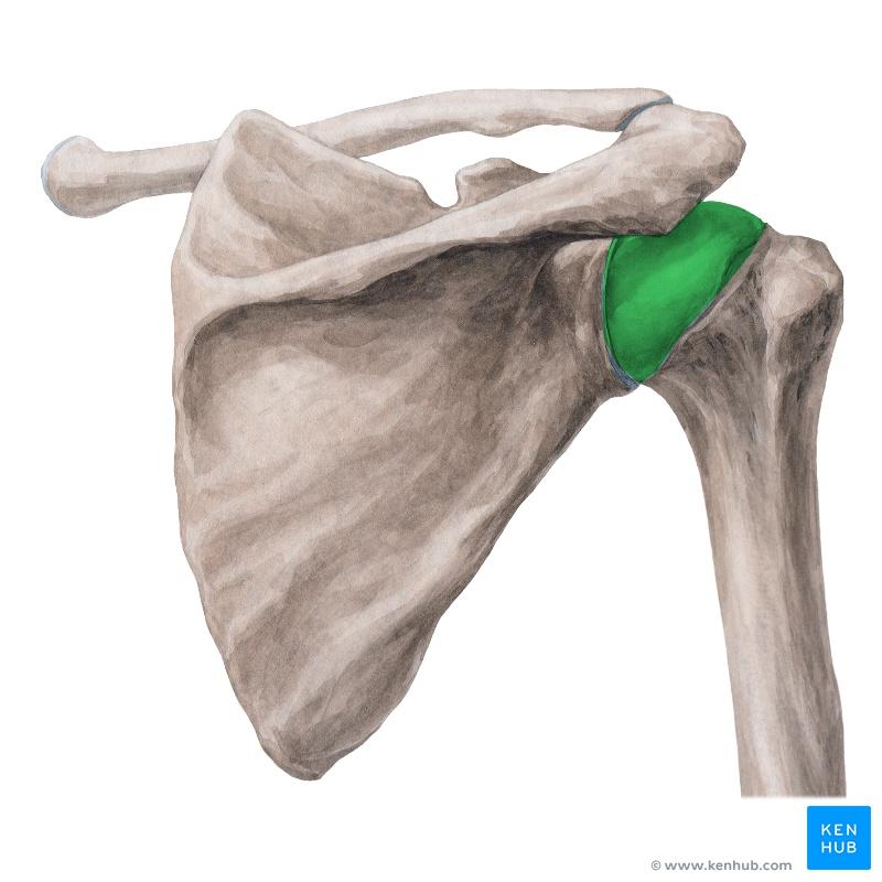 Lernkartei Anatomie: Schulter und Arm (Latein)