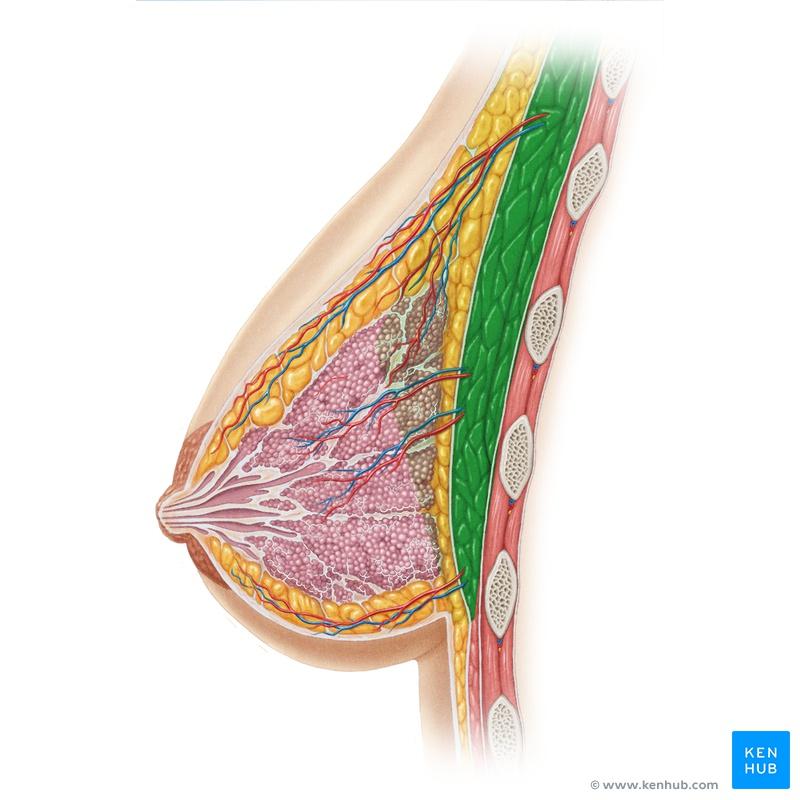Lernkartei Anatomie: Weibliche Brust (Latein)