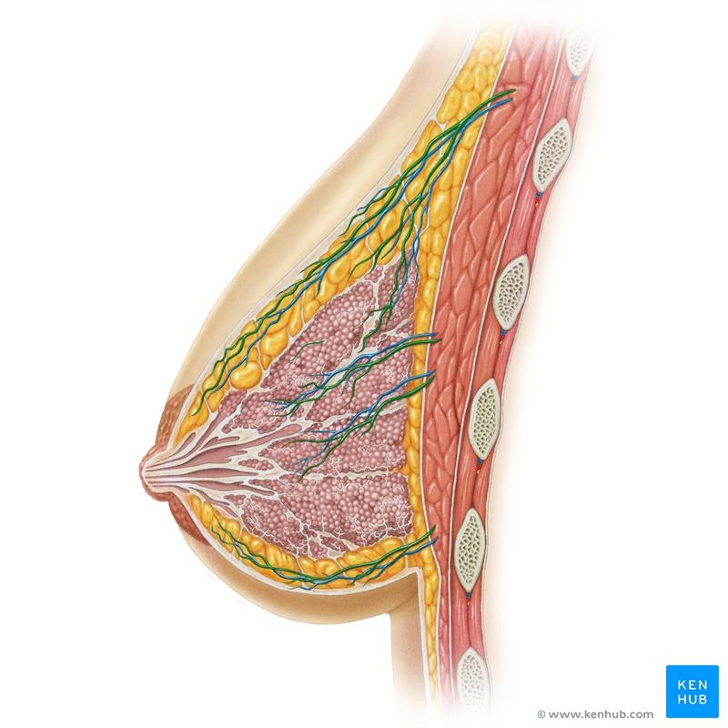 Berühmt Brust Bilder Der Anatomie Zeitgenössisch - Anatomie und ...