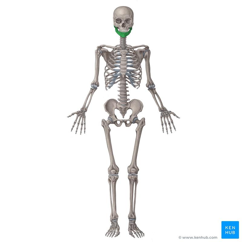 Lernkartei Anatomie: Überblick über die Organsysteme (Latein)