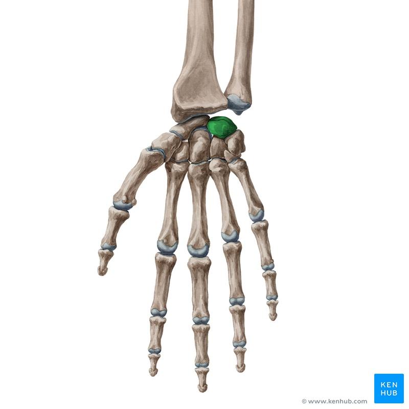Lernkartei Anatomie: Einblick - Knochen & Muskeln (Latein)