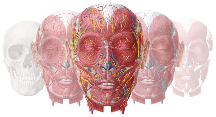 Lernkartei Anatomie: Hirnhäute & Blutgefässe des Gehirns (Latein)