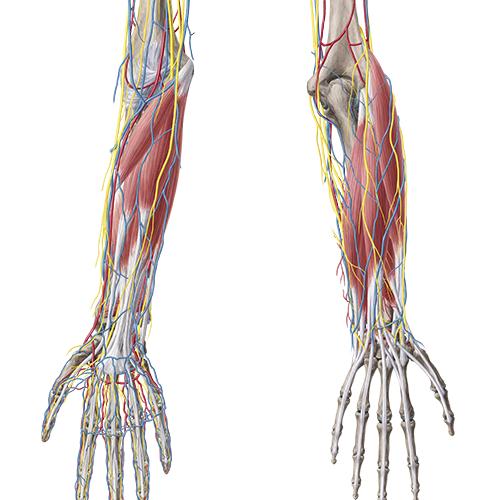 Sammlung Anatomie - Obere Extremität (Latein)