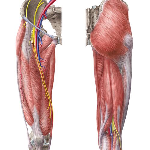 Sammlung Anatomie - Untere Extremität (Latein)