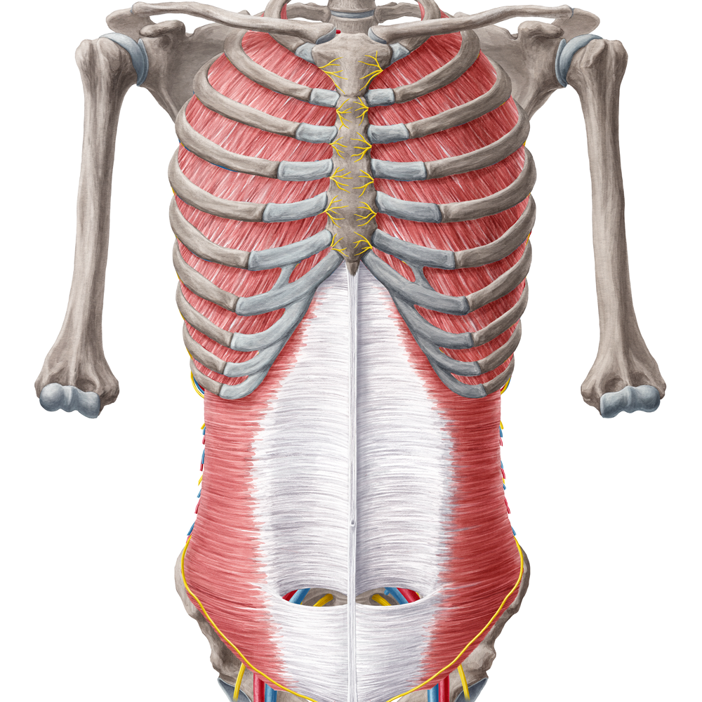 Sammlung Anatomie - Rumpfwand (Latein)