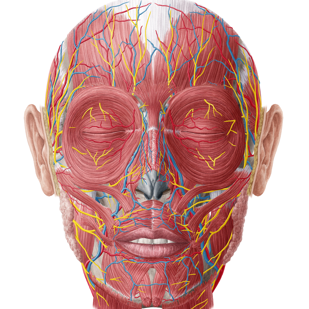 Sammlung Anatomy Head Neck English